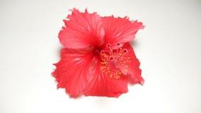 红色木槿花照片收藏 免版税库存图片