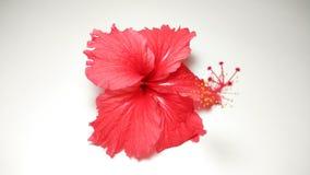 红色木槿花照片收藏 免版税图库摄影