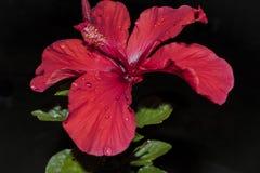 红色木槿花 图库摄影