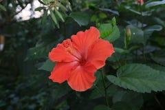 红色木槿花 免版税图库摄影