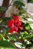 红色木槿花 免版税库存照片