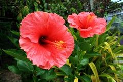 红色木槿 免版税库存照片