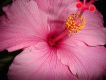 红色木槿3 免版税库存图片