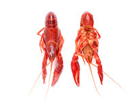 红色未加工的小龙虾 图库摄影