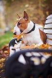红色杂种犬在长凳位于 免版税库存图片
