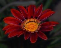 红色杂色菊属植物 免版税库存图片