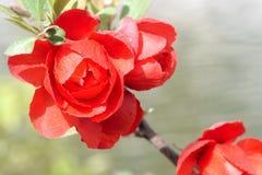 红色李子开花 库存图片