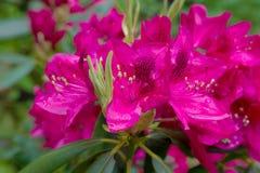 红色杜娟花在公园 免版税库存照片