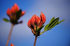红色杜鹃花。 免版税库存照片