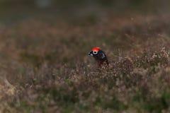 红色松鸡在Cairngorms,苏格兰,在早期的春天 图库摄影