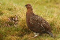 红色松鸡& x28; 雷鸟属lagopus& x29; 库存图片