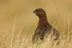 红色松鸡& x28; 雷鸟属lagopus& x29; 免版税库存图片