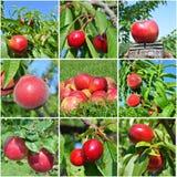 红色果子拼贴画 免版税库存照片