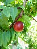 红色果子 库存图片