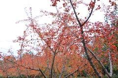 红色果子 免版税库存照片