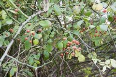红色果子 免版税图库摄影