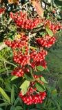 红色枸子属植物莓果 免版税图库摄影