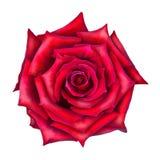 红色查出的玫瑰花 图库摄影