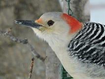 红色查寻向外关闭的鼓起的木啄木鸟 库存图片