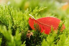 红色树叶子在一棵绿色树在秋天放置 库存照片