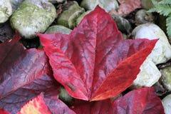 红色树叶子 库存照片