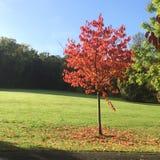 红色树在秋天/秋天 库存照片