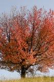红色树在秋天 库存照片