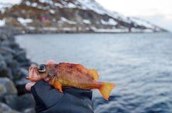 红色栖息处在钓鱼者手上 免版税库存图片