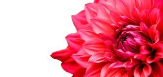 红色桃红色大丽花花详述宏观摄影边界框架 免版税库存图片