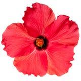 红色桃红色热带木槿花 库存照片