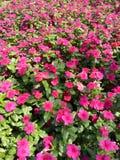红色桃红色花在阳光下在曼谷 库存照片