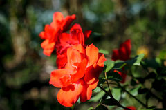 红色桔子上升了-浅DOF 库存图片