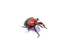 红色棕榈象鼻虫 免版税库存图片