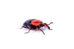 红色棕榈象鼻虫 图库摄影
