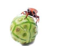 红色棕榈象鼻虫 免版税图库摄影