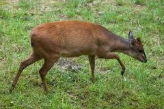 红色森林小羚羊 图库摄影