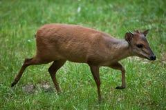 红色森林小羚羊(Cephalophus natalensis) 图库摄影