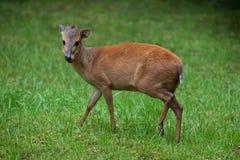 红色森林小羚羊& x28; Cephalophus natalensis& x29; 免版税库存图片