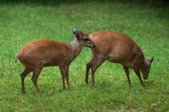 红色森林小羚羊& x28; Cephalophus natalensis& x29; 库存图片