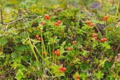 红色森林莓果在秋天颜色的寒带草原在青苔ba 免版税库存照片