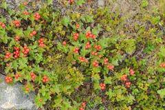 红色森林莓果在秋天颜色的寒带草原在青苔ba 库存照片