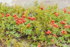 红色森林莓果在秋天颜色的寒带草原在青苔ba 图库摄影