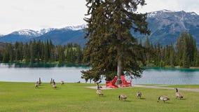红色椅子和野生鹅全景在一个绿色领域在干净的蓝色湖岸 免版税库存照片