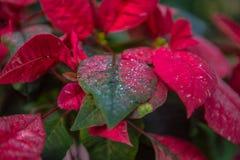 红色植物秀丽  图库摄影
