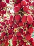 红色槟榔子 库存照片