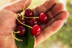 红色樱桃在妇女手上 免版税库存图片