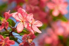 红色樱桃树花开花在软的春季阳光下 免版税库存图片