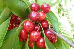 红色樱桃特写镜头在树的 图库摄影