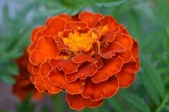 红色橙色万寿菊特写镜头  免版税库存照片