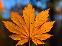 红色橙色叶子的秋天,橙色,太阳树分支,枫叶,滨海边疆区 免版税库存图片